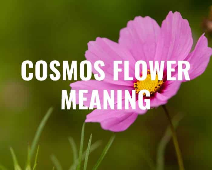 Cosmos Flower Meaning Everything You Need To Know Gardening It