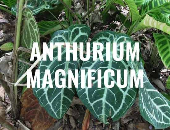 Anthurium Magnificum Everything You Need To Know Gardening It